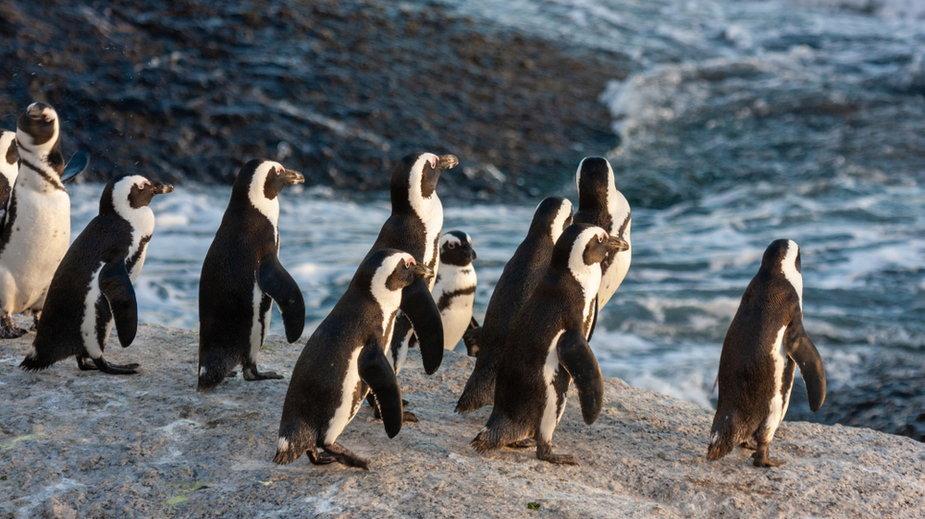 Fotograf uchwycił na zdjęciu żółtego pingwina (zdj. ilustracyjne)