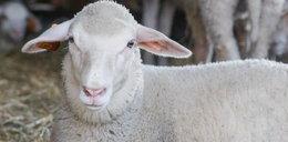 Wygłodniałe psy zaatakowały owcę w żywej szopce przy kościele! [FILM]