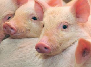 Rząd deklaruje wzmożenie walki z pomorem świń, ale niezadowolenie wsi rośnie