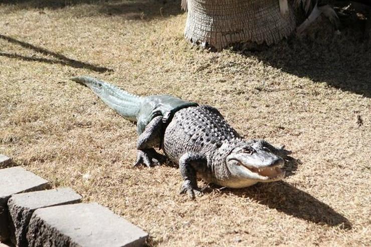 321637_31013alligatortail2