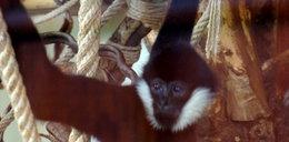 Zobacz nowe małpki w zoo