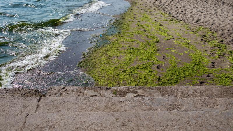 Sinice na plaży w Gdyni