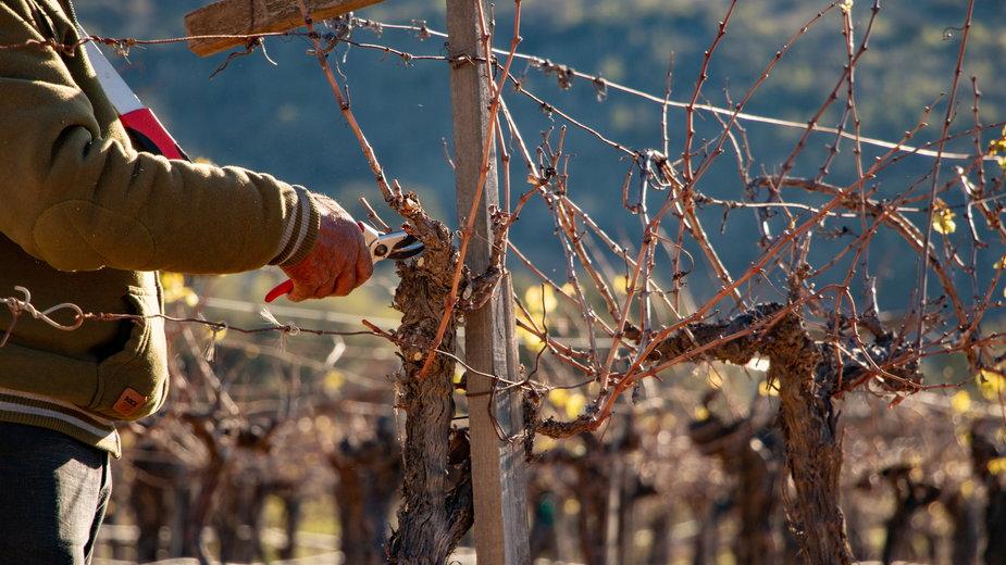 Przycinanie winogron to ważny zabieg pielęgnacyjny - David/stock.adobe.com