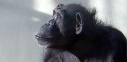 Smutek w zoo w Gdańsku. Nie żyje Kasia, najstarsza szympansica