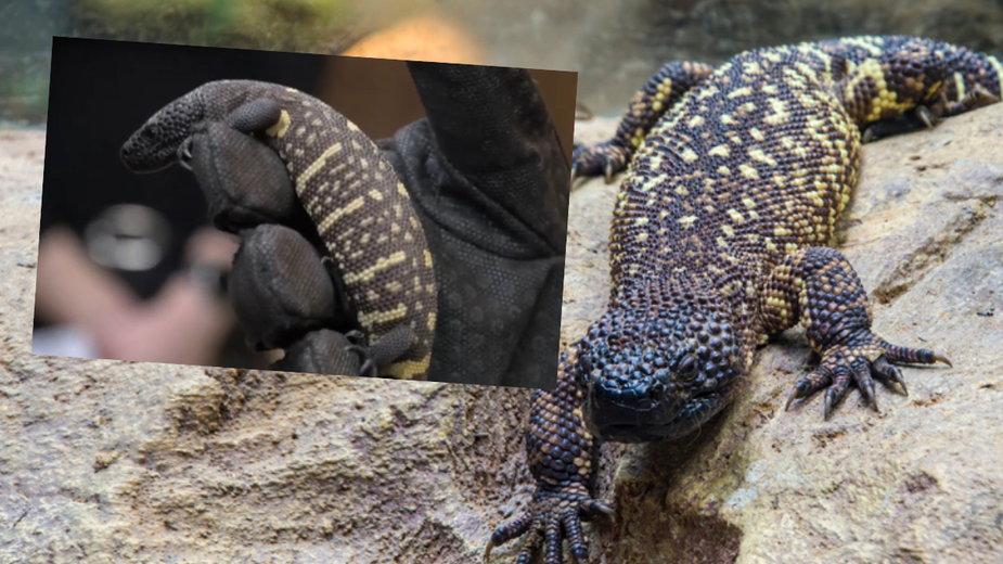 Helodermy meksykańskie urodziły się we wrocławskim zoo
