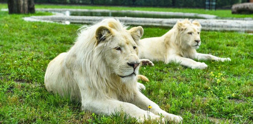 Lwica urodziła młode, a inne lwy je zagryzły. Jest oświadczenie zoo