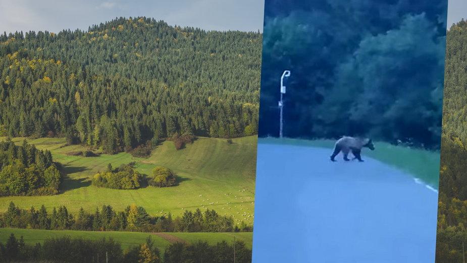 Niedźwiedź w Pieninach. Nagrano go w Sromowcach Wyżnych