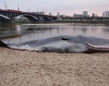"""""""Wieloryb"""" na brzegu Wisły"""