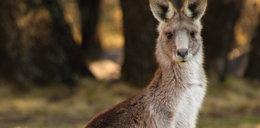 Pogoń za kangurem
