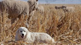Portugalscy rolnicy otrzymali gratis 250 psów pasterskich