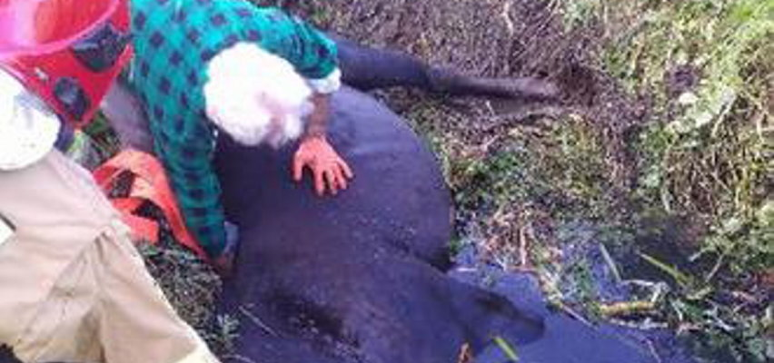 Bełchatów: strażacy uratowali konia, który ugrzązł w błocie. Mógł nawet utonąć