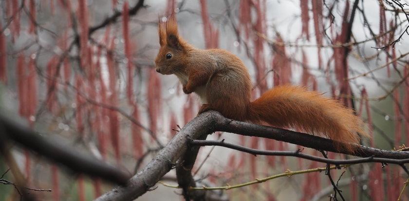 Most dla wiewiórek w Lesie Łagiewnickim