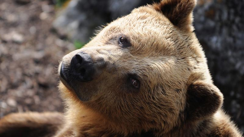 Słowaccy policjanci wypędzili niedźwiedzia do lasu