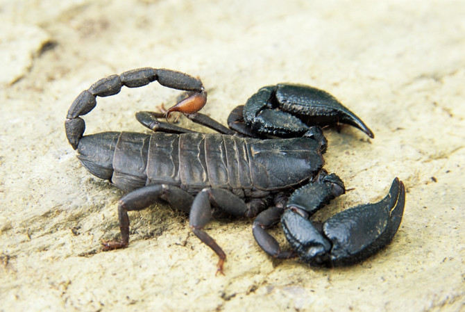 Škorpije se pojavile na Paliluli, stanari u strahu