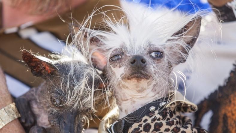 Sweepee Rambo jest niewidom. To mieszanka Chihuahua i Grzywacza chińskiego.
