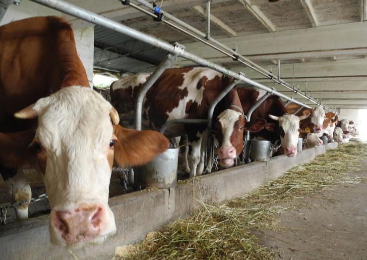 farma krava - Ćuprija -g.j.