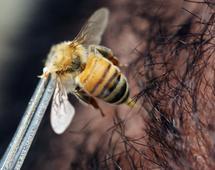 Michael Smith dziennie pozwalał użądlić się trzem pszczołom