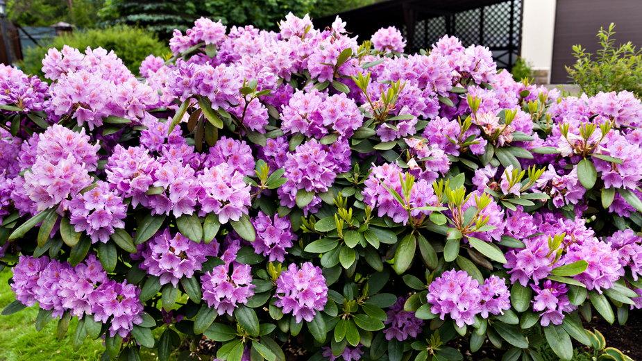 Azalie są doskonałą ozdobą ogrodu - annatronova/stock.adobe.com