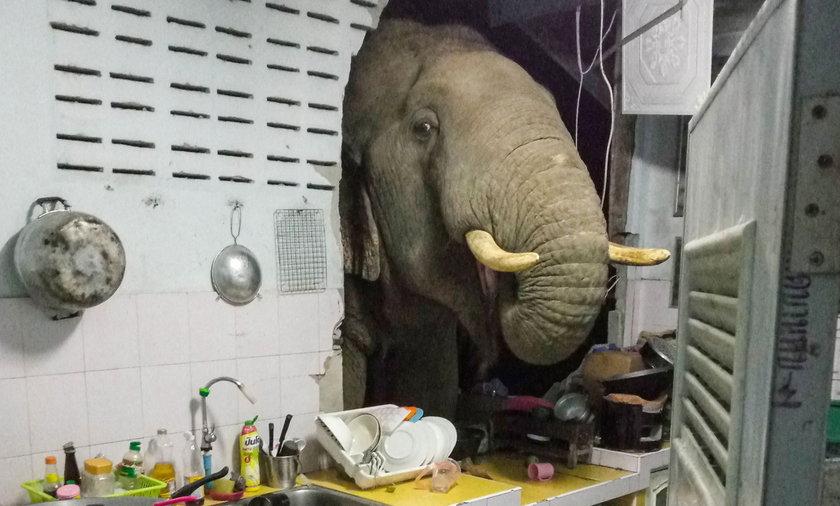 Słoń włamał się do domu w Tajlandii