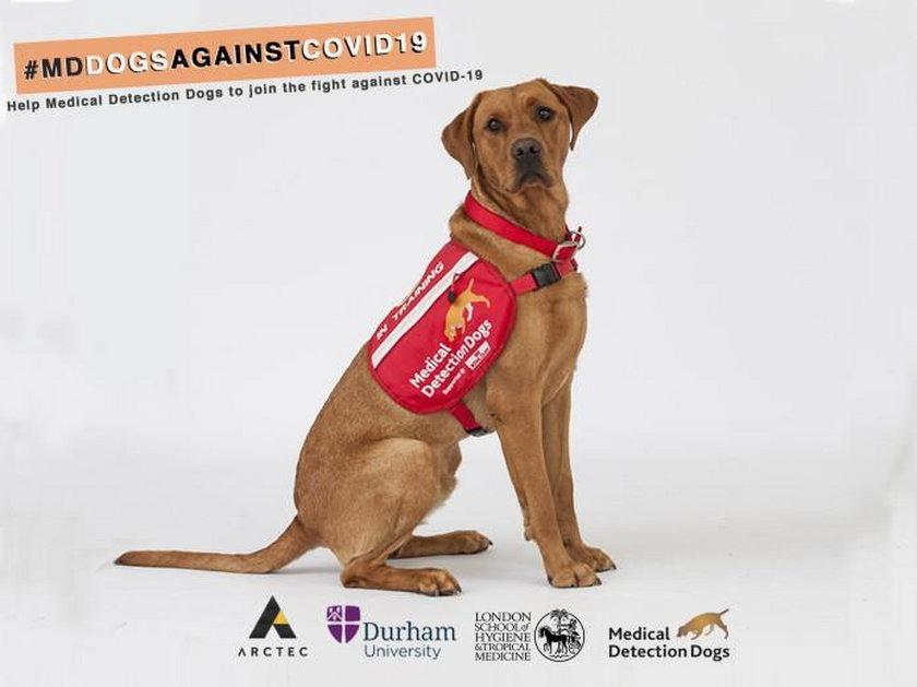 Koronawirus na świecie: chcą szkolić psy do wykrywania koronawirusa
