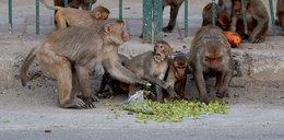 Stado małp zabiło 45-latkę i czworo dzieci