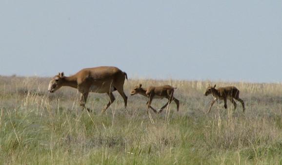 Sajga antilope