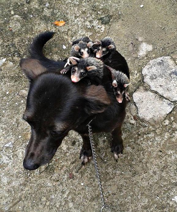 oposum i pas