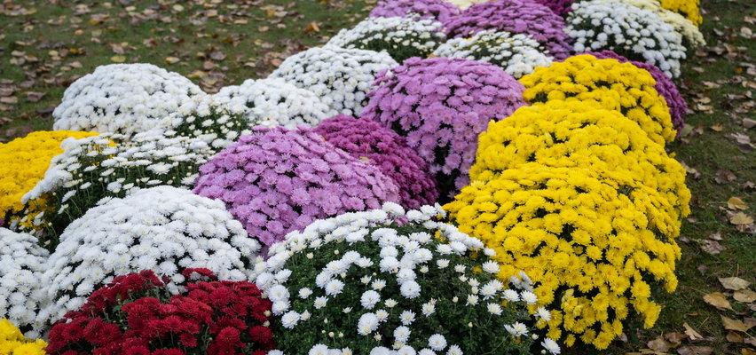 Czas na chryzantemy! Jak kupić najpiękniejsze i najtrwalsze kwiaty