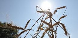 Rolnicy nie ubezpieczają się od skutków suszy. Rząd im pomoże?