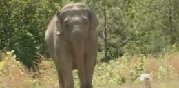 Słonica czuwała przy chorej przyjaciółce - suczce Belli