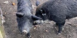 Makabra na Dolnym Śląsku! Świnie zjadły rolnika!