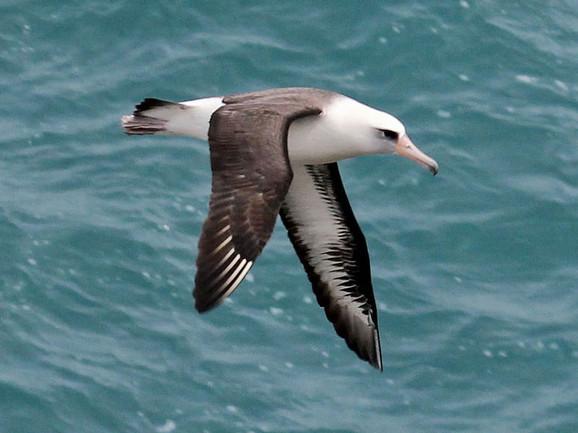 Albatrosi svake godine prelete hiljade kilometara preko okeana