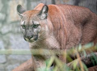 Sąd postanowił, że puma Nubia zostanie w chorzowskim zoo