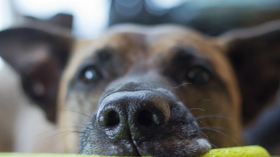 Suchy nos u psa może zwiastować chorobę - Jaymen/stock.adobe.com
