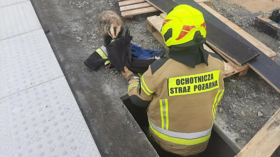 Stargard: Borsuk wpadł w tarapaty. Pomogli strażacy