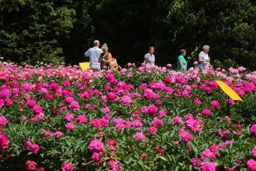 Wystawa piwonii w ogrodzie botanicznym