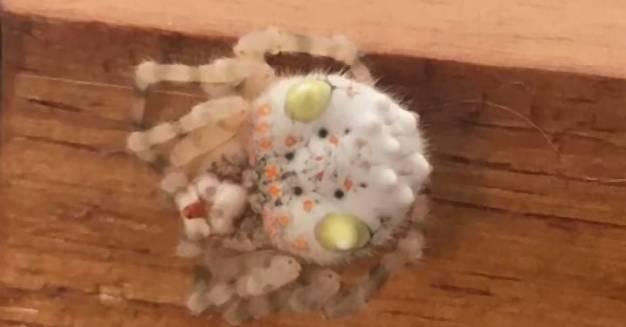 Spinne oder Sushi? Australier findet ungewöhnliches Tierchen bei sich zu Hause