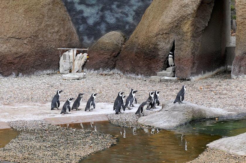 Pingwiny przylądkowe to gwiazdy zoo