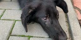 Skatowano psa prawie na śmierć. Ktoś do niego też strzelał