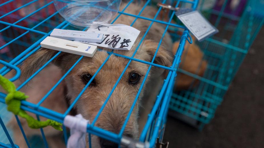Pies wieziony na Festiwal psiego mięsa w Chinach