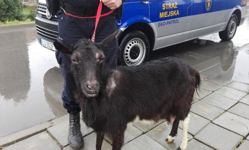 Koza błąkała się po Lublinie