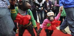 Szympansy wzięły ślub