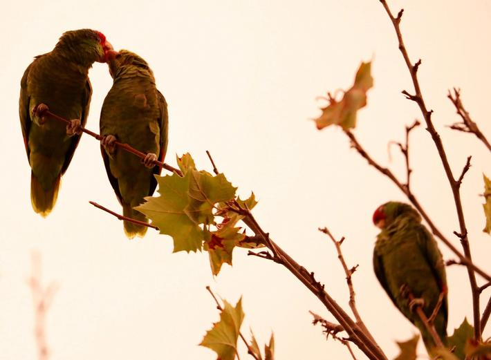 Parrots are perched on a treetop at sunset in Pasadena