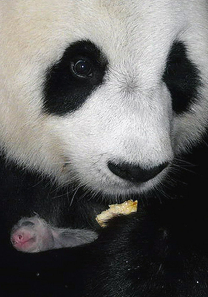 THAILAND NEW BORN PANDA CUB