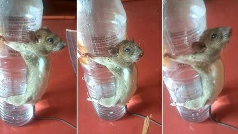This is how angry man punished rat for chewing his phone charger