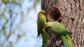 Zielone papugi zamieszkały w parku w Nysie