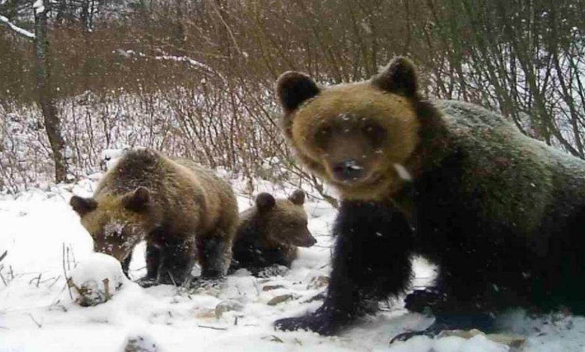 Niedźwiedzie zostały zaatakowane przez wilki