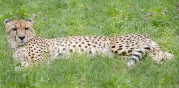 Gepardy wyprowadzą się z dyrekcji