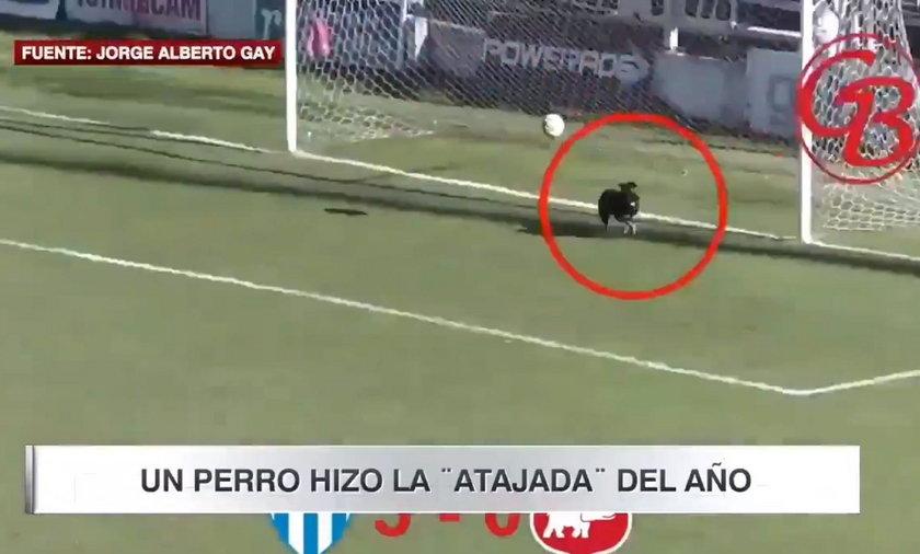Piłka trafia w... psa. I gola nie ma!