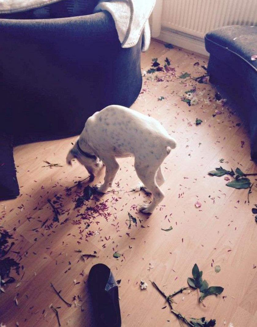 Tego psa nie można spuścić z oczu. Rodzina wymieniła już osiem sof